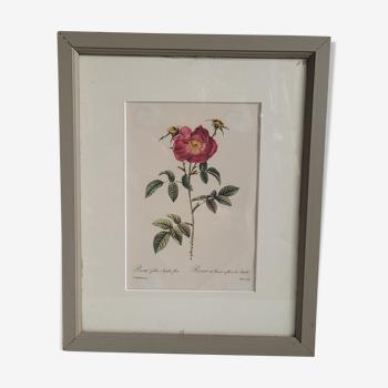 Litho rosier provins stapelie