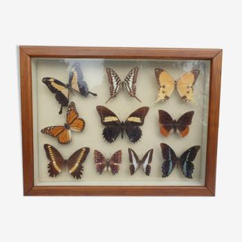 Showcase frame 10 world butterflies naturalized vintage 1970's