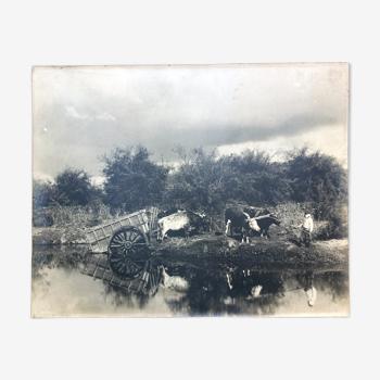 Photographie boeufs et charettes XIX è siècle