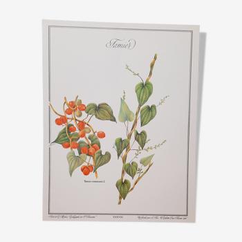 Planche botanique Tamier