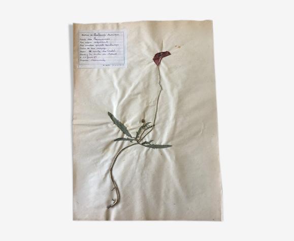 Planche d'herbier, coquelicot 1949