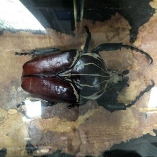 Vitrine à insectes