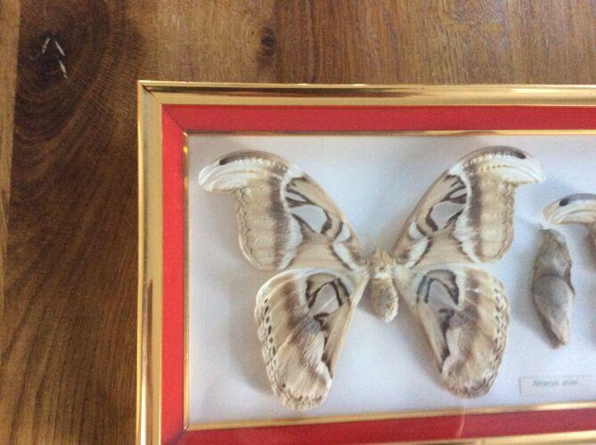 Cadre à papillons naturalisé