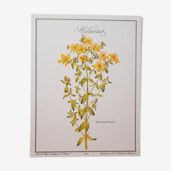 Planche botanique Millepertuis