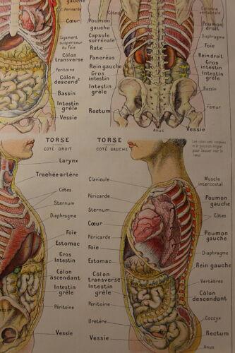 Planche Médicale anatomique L'abdomen