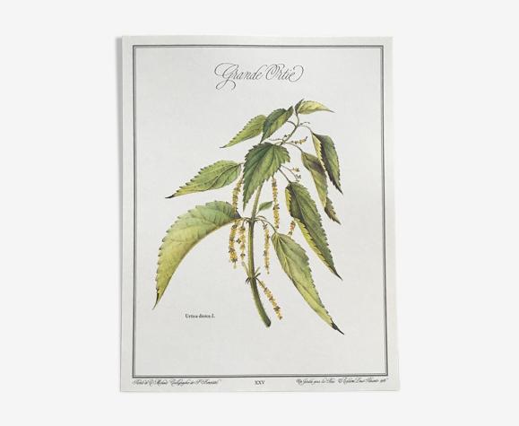 Planche botanique la grande ortie