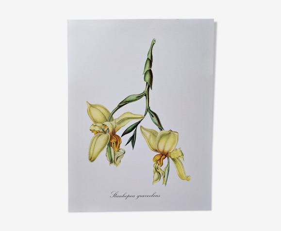 Planche botanique fleur stanhopée à odeur forte
