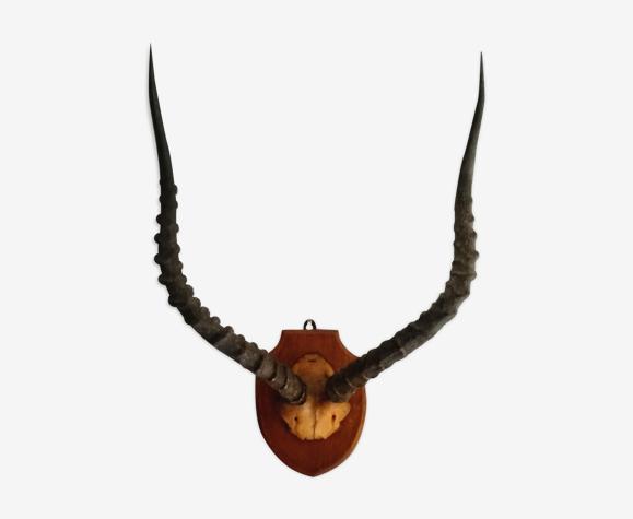 Cornes de gazelle s