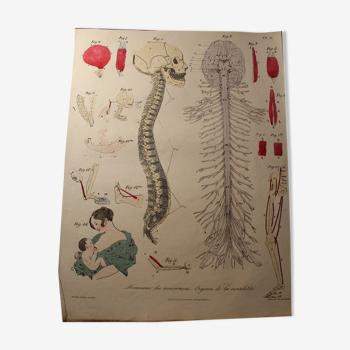 """Planche médicale anatomie """"Mecanisme des mouvements : Organes de la sensibilité"""""""
