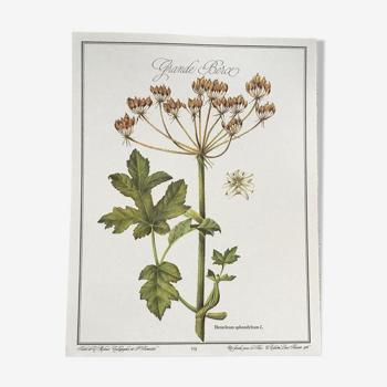 Planche botanique la grande Berce