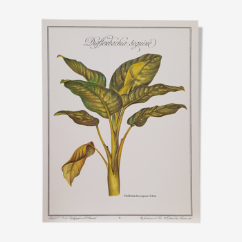 Botanical plate Diffenbacchia