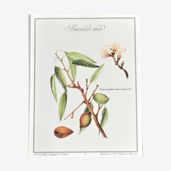 Planche botanique l'Amandier doux