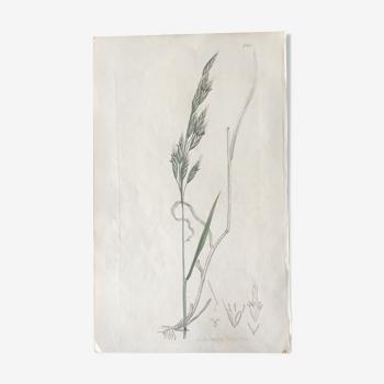 Planche botanique de Sowerby, Ed 1809