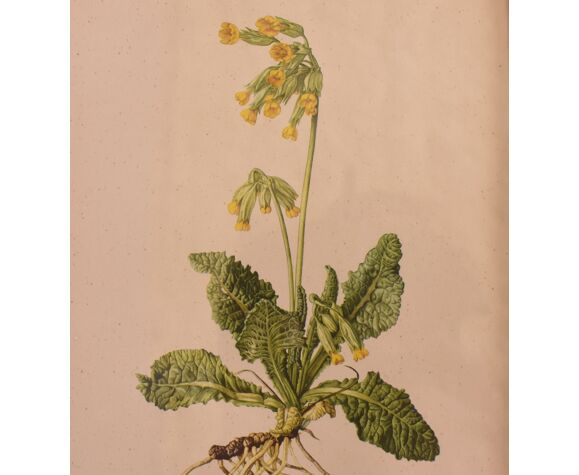 Ensemble de trois planches botaniques, années 1950