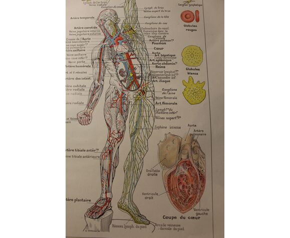 Planche médicale anatomie coeur