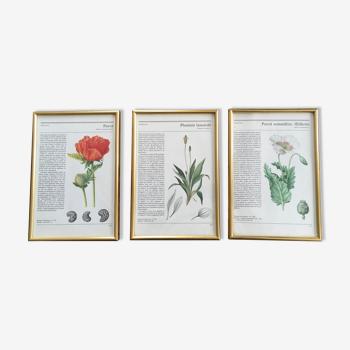 Illustrations botanique encadrées doré vintage 2