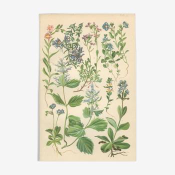 Planche Botanique: Linaire des Alpes, Digitale des fées, Veronica, Véronique des Alpes, Bonarota