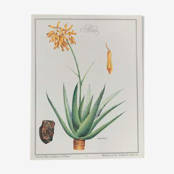 Planche botanique l'Aloès