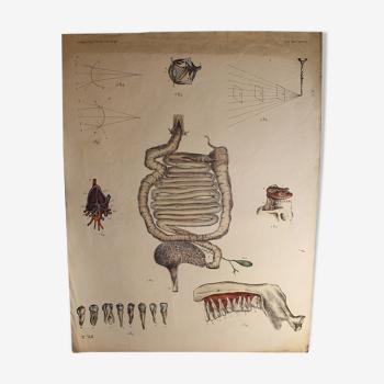 """Planche médicale anatomie """"organes, dents et réfraction de la lumière"""""""