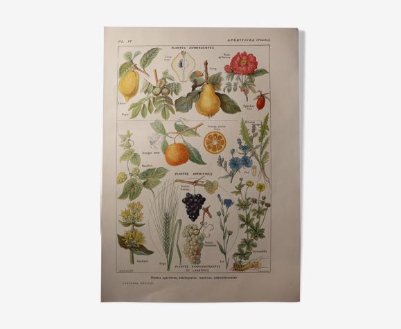 Planche botanique plantes apéritives