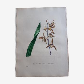Planche botanique Epidendrum Sinense, lithographiée et coloriée,  Sertum Botanicum 1832