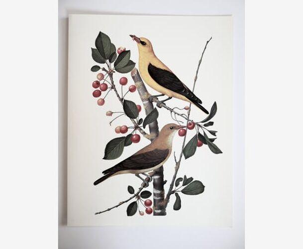 Planche ornithologique Le Loriot