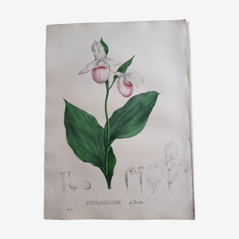Planche botanique Cypripedium Album, lithographiée et coloriée,  Sertum Botanicum 1832