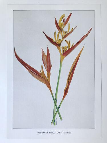 Planche botanique Heliconia Psittacorum