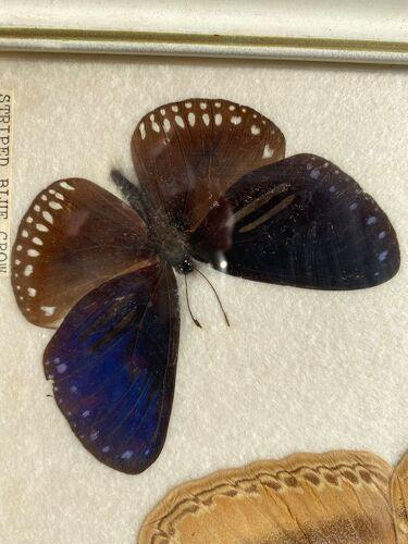 Planche de trois papillons naturalisés de Thaïlande