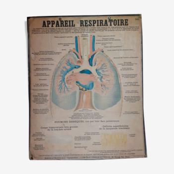Planche pédagogique Deyrolle anatomique appareil respiratoire - poumon