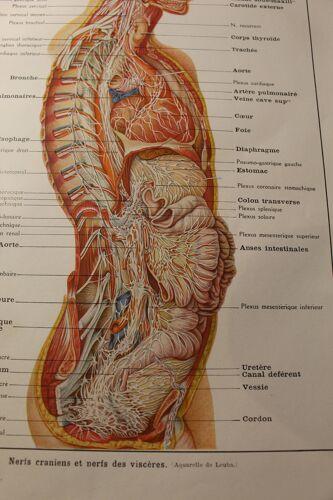 Planche médicale - anatomie - cerveau (nerfs partant du...)