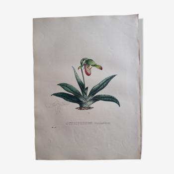 Planche botanique Cypripedium Venustum, lithographiée et coloriée, Sertum Botanicum 1832