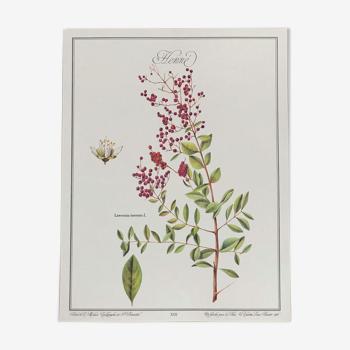 Planche botanique le Henné
