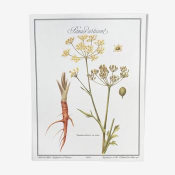 Planche botanique le panais urticant