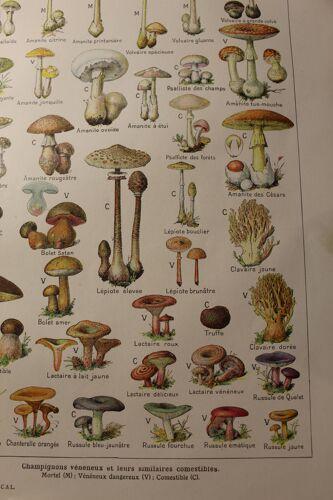 Planche botanique - plante - les champignons